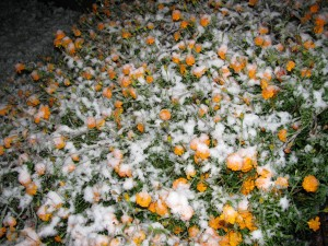 marigold_snow