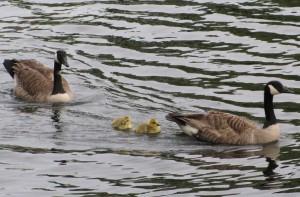 goose_family